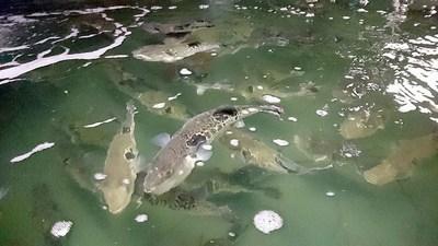 フグ養魚.jpg